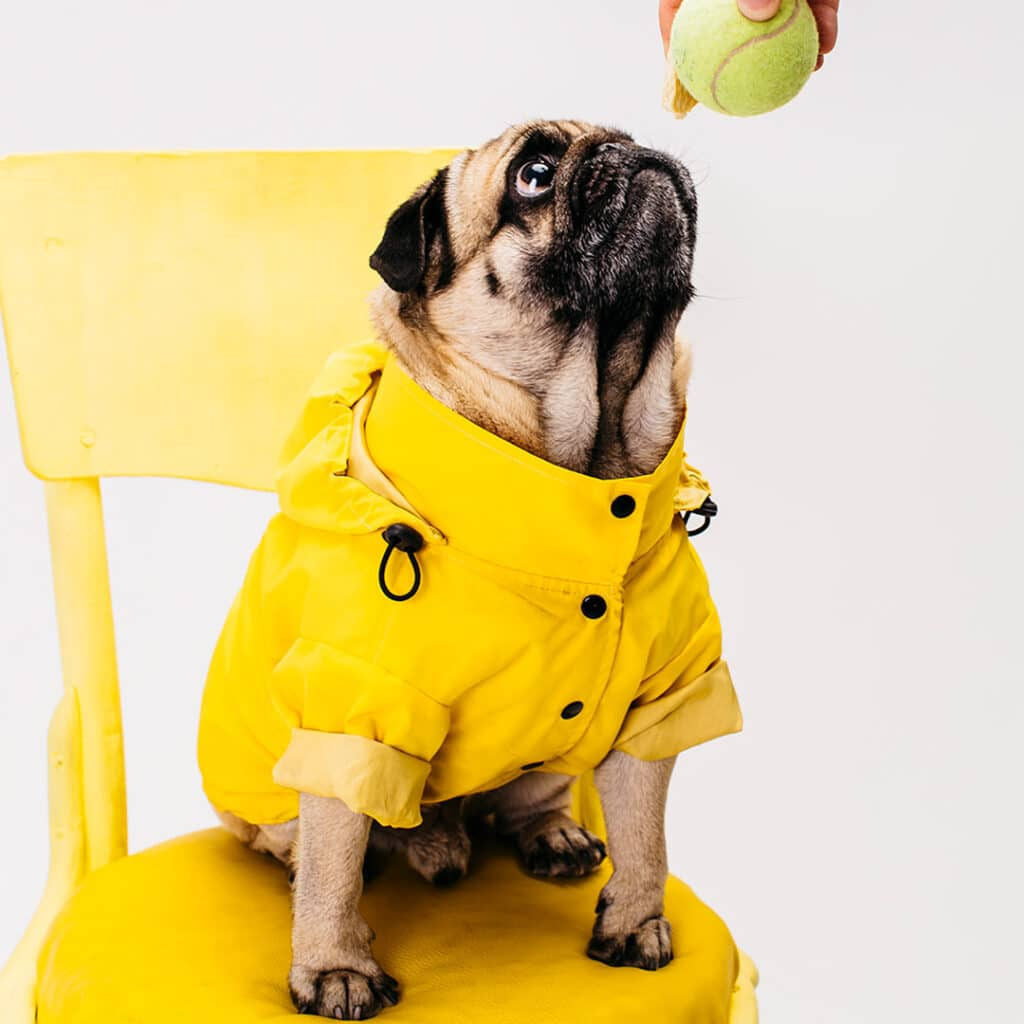 Cute little dog in a yellow raincoat looking at a tennis ball.