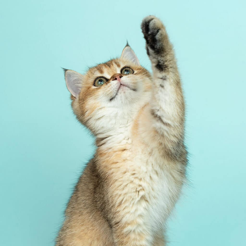 Cute little cat holding one of her paws in the air.